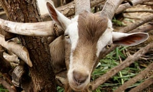 Christmas Goat.No Thank You I Don T Want A Goat For Christmas Diane
