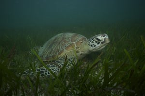 Great Barrier Reef: Green turtle in a sea grass bed