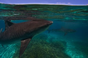 Great Barrier Reef: Tiger shark in the shallows of Raine Island
