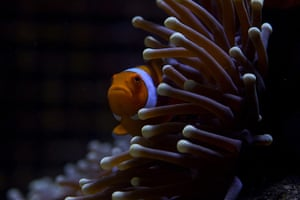 Great Barrier Reef: Anemone fish