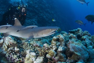 Great Barrier Reef: Monty Halls with a whitetip reef shark