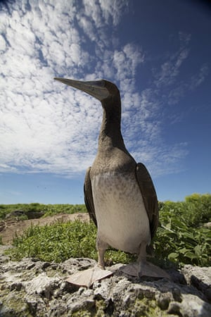 Great Barrier Reef: Brown boobie on Raine Island