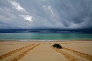 Great Barrier Reef: Green turtle on Raine Island