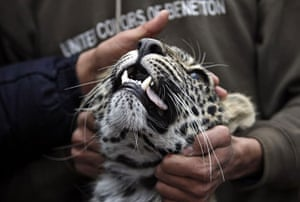 24 hours in pictures: tranquilized leopard