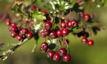 Hawthorn berries and autumn foliage