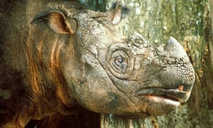 Tam, the Borneo Sumatran male rhino rescued in 2008, is to get a new mate
