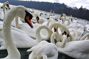 24 hours in pictures: Zbilje, Slovenia: Swans dive for food