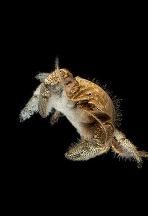 Deep sea creatures: Hairy crab