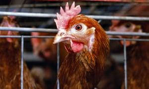 A battery hen