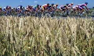 Cyclists-pass-French-wheatfield