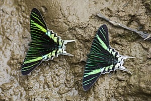 Yasuni National Park: Butterflies on mud, close-up