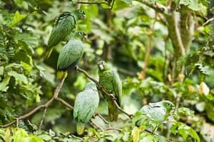 Yasuni National Park: Parrots perching on branch