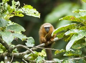 Yasuni National Park: Monkey sitting on branch