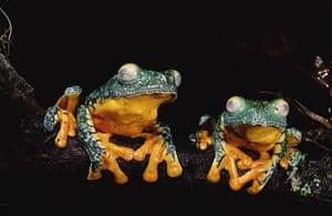 Yasuni National Park: LEAF FROG
