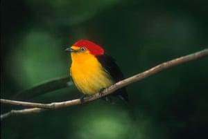 Yasuni National Park: Wire Tailed Manakin