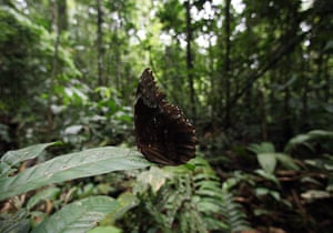 Yasuni National Park:  a butterfly perches on a leaf