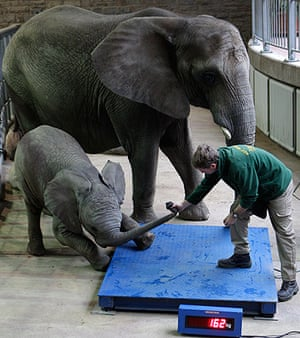 24 hours : Wuppertal, Germany: Baby elephant Uli resists the weigh-in at the zoo