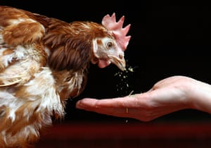 24 hours : Chulmleigh, England: Liberty the last ex-battery hen to be rehomed is fed