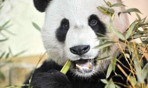 Giant panda Yang Guang tucks into some bamboo at his new home at Edinburgh zoo