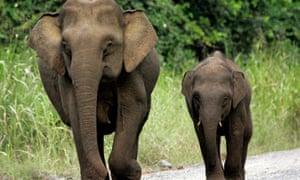 Pygmy elephants in Sabah state on Borneo Island