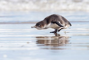 24 hours in pictures: Blue Penguin moves towards the sea after being released, new Zealand
