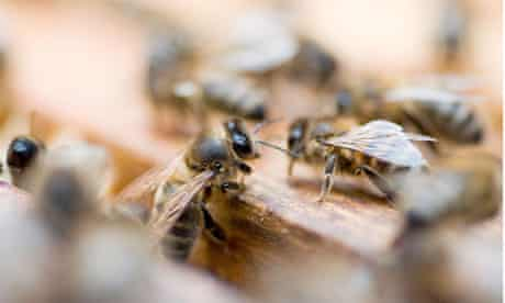 Closeup of honey bees in a hive