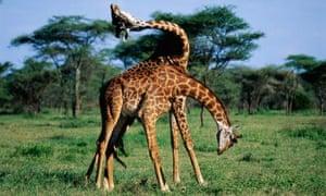 Giraffes fighting in Tanzania