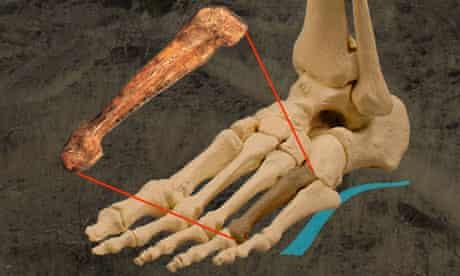 Foot bone from Australopithecus afarensis and human foot