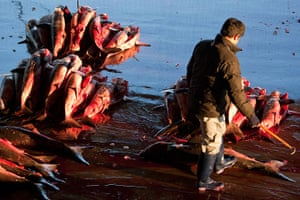 Shark fishing: sharks with fins removed are piled in preparation for sale at Kesennuma.
