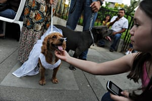 Valentine's Day: Managua, Nicaragua: A cocker spaniel after her wedding ceremony