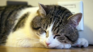 Larry the Downing St cat: Larry the cat sleeps in 10 Downing Street