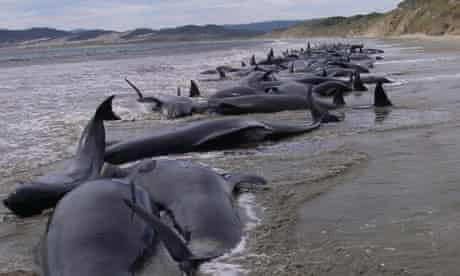 The pod of 107 pilot whales stranded on Stewart Island