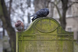 Bunhill fields cemetery: Pigeons perch on a gravestone