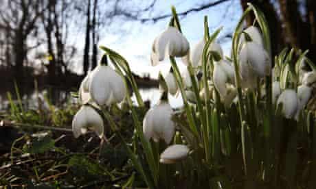 Stumped: Snowdrops