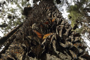 Week in wildlife: Hundreds of Monarch butterflies in the Mexican state of Michoacan