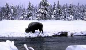 Week in wildlife:  a bison digs under the snow to graze inside Yellowstone National Park