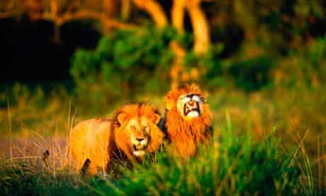 lions-under-threat