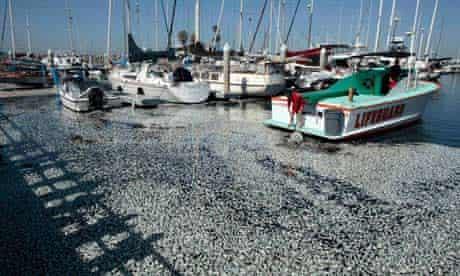 Dead sardines in Redondo Beach