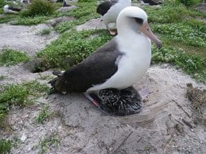 Week in Wildlife: A Laysan albatross named Wisdom