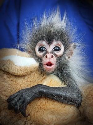 Week in Wildlife: Spider Monkey born at Melbourne Zoo in Melbourne, Australia - 08 Mar 2011