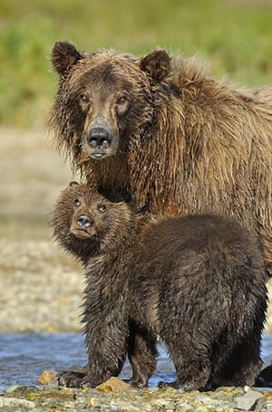 Week in Wildlife: The Family Life of Grizzly Bears, Katmai, Alaska - 23 August 2010