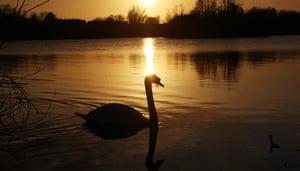 Week in Wildlife: Swan during sunset