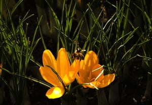 Week in Wildlife: A bee is pictured on season's first crocuses in a public park in Bern