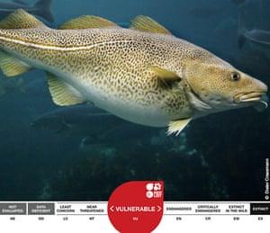Week in Wildlife: Atlantic Cod