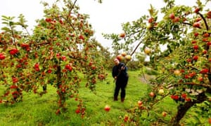 Apple orchard, Somerset