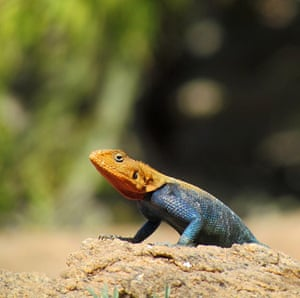 in pictures: difference: An Agama lizard