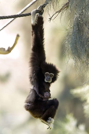 Week in Wildlife: Withe-Handed Gibbon