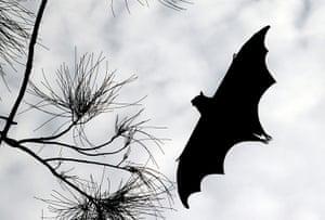 Week in Wildlife: A rehabilitation grey-headed Flying fox