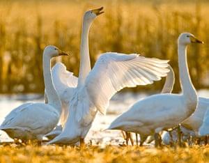Week in Wildlife: Whooper Swans in Oderbruch