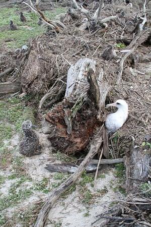 Week in wildlife:  Laysan Albatross hit by tsunami at Midway Atoll National Wildlife Refuge